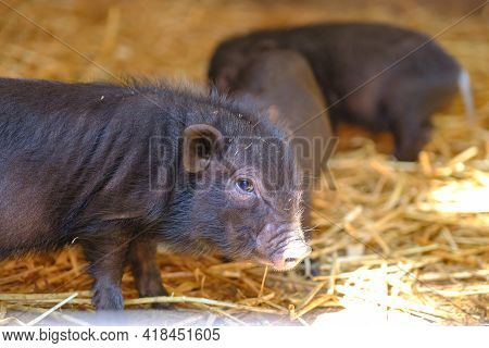 Young Wild Boar, Sus Scrofa. Little Piglets On Straw. Group Of Newborn Piggy Animals Standing Close