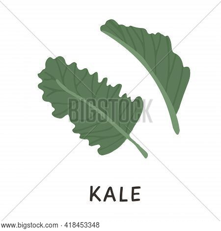 Colored Hand Drawings Of Green Kale Or Leaf Cabbage. Fresh Organic Raw Vegetable, Cultivated Crop Is