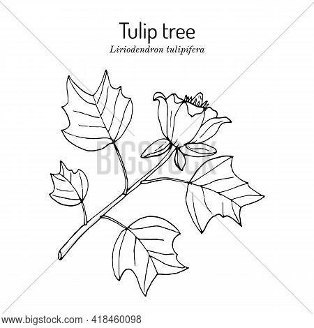 American Tuliptree, Or Tulip Poplar Liriodendron Tulipifera , State Tree Of Indiana, Kentucky, And T