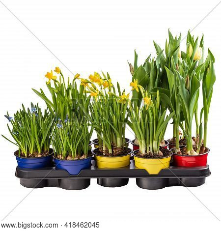 Muscari, Daffodil And Tulip In Flowerpot Ready For Sale Isolated On White Background
