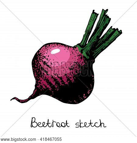 Beetroot Sketch, Color Vector Illustration. Isolated On A White Background