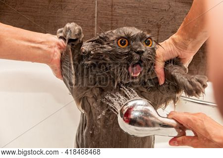 Funny Wet British Cat With Bright Orange Eyes, Open Mouth, Tongue Hanging Out Takes A Shower. Pet Hy