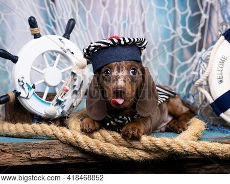 Dachshund puppy sailor in hat  and sea decorations