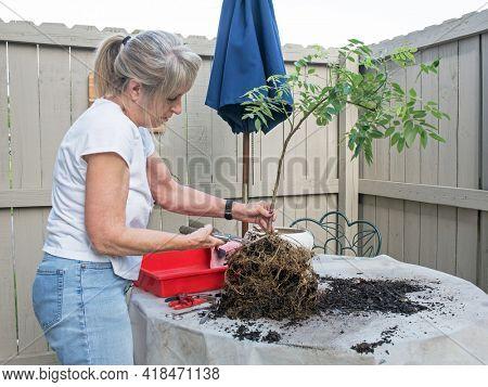 Senior Woman Creating A Wisteria Bonsai Tree