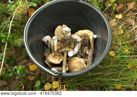 Edible Mushrooms In Black Plastic Pail In Forest, Top View.
