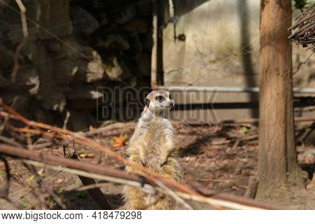 A Funny Meerkat Stands On Its Hind Legs