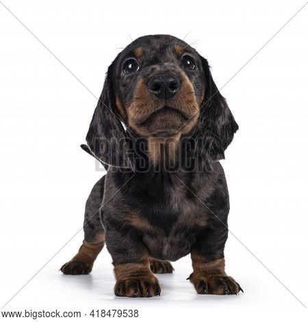 Cute Dachshund Aka Teckel Pup, Standing Facing Front. Looking Curious Into Camera. Isolated On White