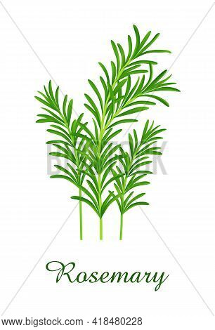 Rosemary Plant, Food Green Grasses Herbs And Plants Collection, Realistic Vector Illustration