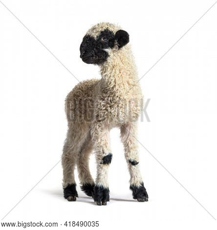 Standing Lamb Blacknose sheep looking at the camera, three weeks old, isolated on white