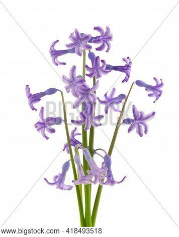 Wild Hyacinth Flowers Isolated On White Background. Hyacinthus Orientalis. Beautiful Spring Flowers.