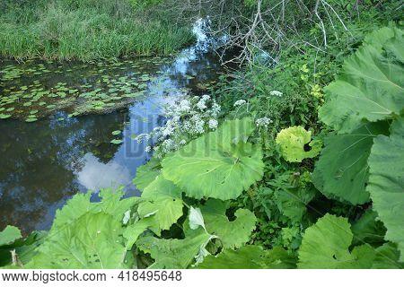 Inflorescences Of Butterbur, Pestilence Wort, Petasites Hybridus