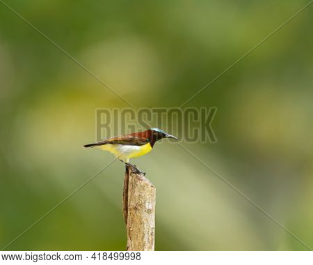 Beautiful Purple-rumped Sunbird (leptocoma Zeylonica), Resting On A Post And Is A Sunbird Endemic To
