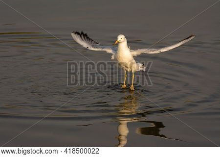 Beautiful Slender-billed Gull (chroicocephalus Genei), Levitating Over Water While Hunting Fish In T