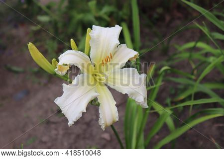 Heavenly Angel Ice. Luxury Flower Daylily In The Garden Close-up. The Daylily Is A Flowering Plant I