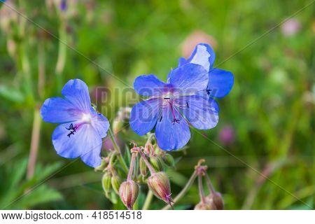 Meadow Geranium Flowers, Geranium Pratense, Selective Focus