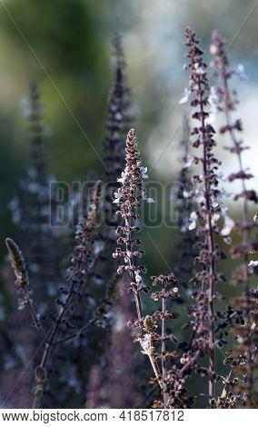 Flower Spikes Of The Australian Native Basil Plectranthus Graveolens, Family Lamiaceae. Endemic To N
