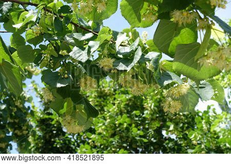 Many Flowers And Buds In The Leafage Of Linden Tree In June