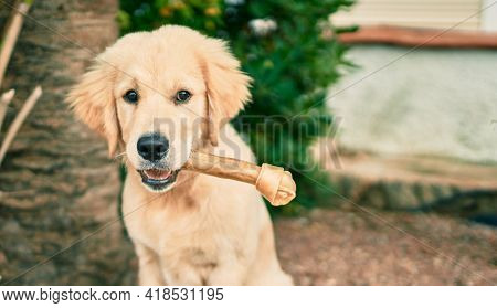 Beautiful and cute golden retriever puppy dog having fun at the park sitting on the green grass. Lovely labrador purebred eating bone