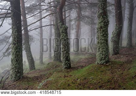 Mysterious Enchanted Forest Landscape With Moss Covered Trees And Heavy Fog. Morcuera Madrid Spain.