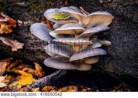 Inedible Mushrooms On A Tree Trunk In Autumn