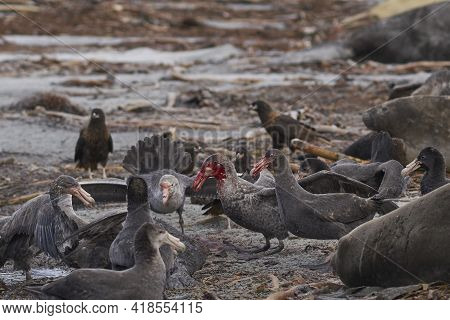 Mixed Group Of Southern Giant Petrel (macronectes Giganteus), Northern Giant Petrel (macronectes Hal