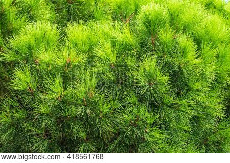 Closeup Photo Of Green Needle Pine Tree. Small Pine Cones At The End Of Branches. Blurred Pine Needl