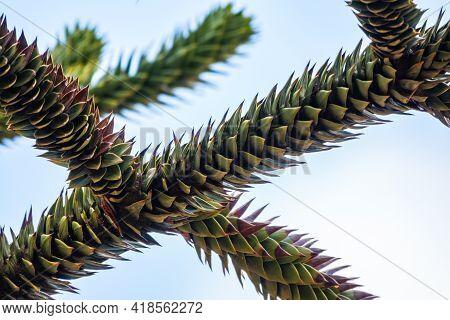 Needles Of Evergreen Tree Araucaria Araucana,commonly Called The Monkey Puzzle Tree, Monkey Tail Tre