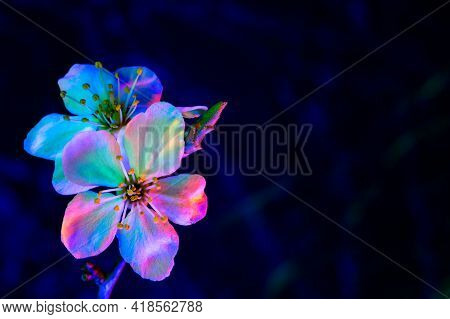 Two Mirabelle Plum Plowers Blooming In Uv. Vertical Composition. White Flowers Illuminated By Black