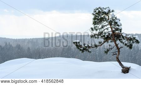 Last Snow Of Winter In Polish Mountains. Single Small Tree Covered With Snow. Evergreen Branches Wit