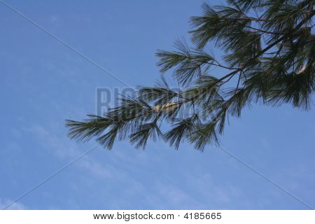Pine Branch In The Sky
