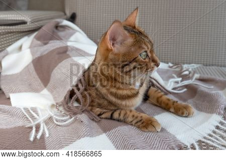 Warm And Cozy Concept. Bengal Cat Is Relaxing On A Cozy Brown Sofa In A Home Interior.