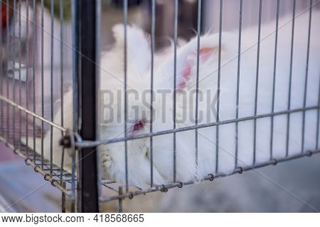 Portait Of Sad Fluffy White Angora Rabbit Lying In The Cage At Agricultural Animal Exhibition, Trade