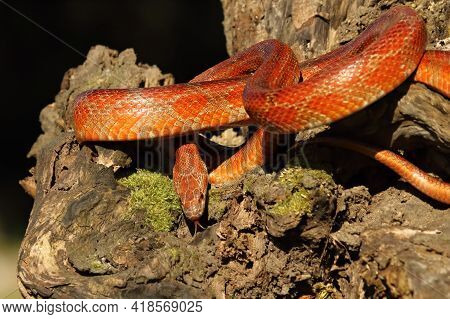 A Corn Snake (pantherophis Guttatus Or Elaphe Guttata) On The Old Brown Branch Before A Hunt. A Red,
