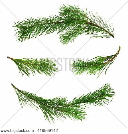 Pine Tree Set, Isolated. Spruce Branch, Pine Tree. Christmas Plant. Winter Time Concept. Pine Branch