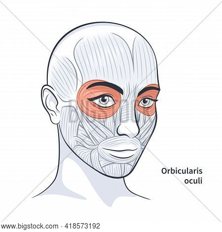 Female Facial Muscles Detailed Face Anatomy Vector Illustration