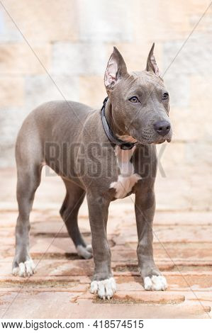 Blue American Staffordshire Terrier, Gray Color, Cropped Ears. Pedigree Trained Dog. Training, Obedi