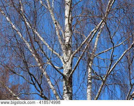 Leafless Birch Tree In Early Spring Against Bright Blue Sky