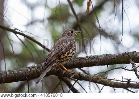 Bird Mistle Thrush Turdus Viscivorus. Perched On Branch.