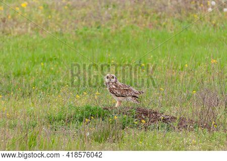 Short-eared Owl, Asio Flammeus, Single Bird In Grass.