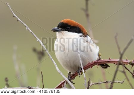 Male Woodchat Shrike Lanius Senator In Natural Habitat Perched On Branch.