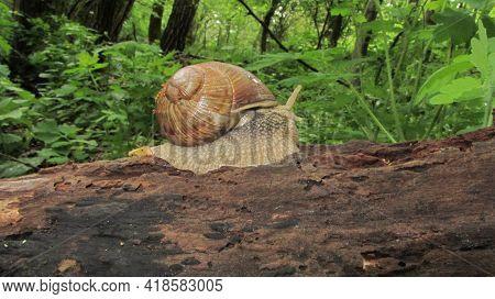 A Roman Snail Or Edible Snail