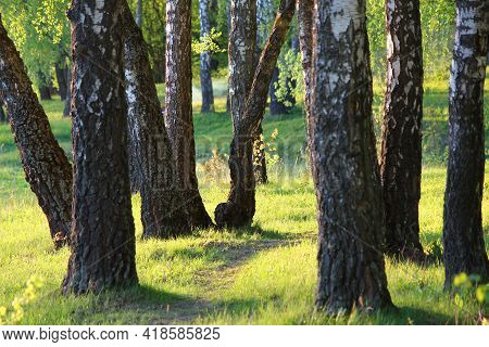 A Picturesque Birch Grove On A Green Slope. Spring Landscape On A Sunny Evening