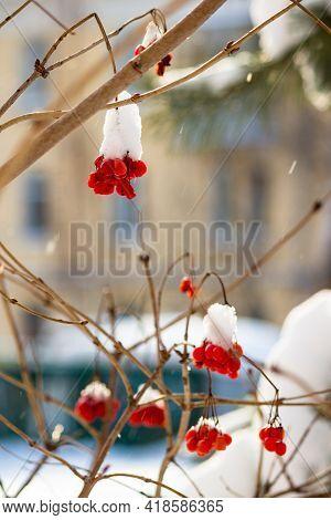 Juicy Red Berries Of Viburnum Guelder Rose, Viburnum Opulus Covered With Snow In Winter. Beautiful S