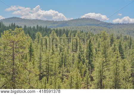 Beautiful View Of Ponderosa Pine Trees In The High Altitude Of The White Mountains In Apache County,