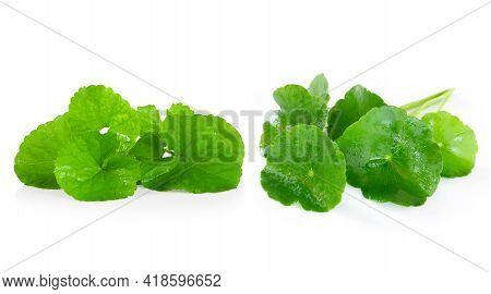 Gotu Kola Leaf, Asiatic Pennywort, Indian Pennywort On White Background, Herb And Medical Concept