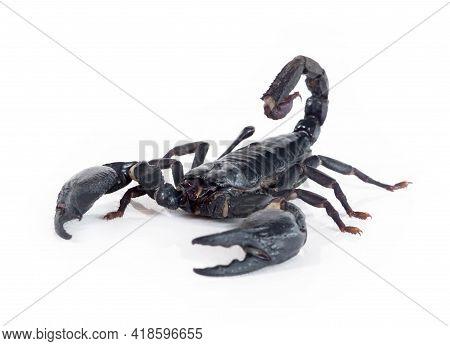 Emperor Scorpion Isolated On White Background, Animal