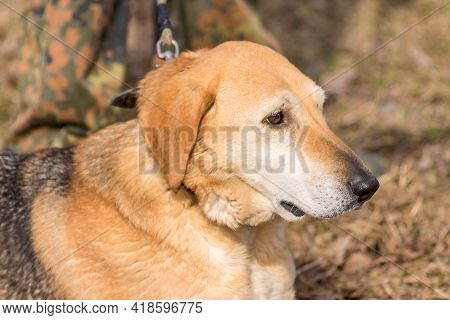 The Head Of A Dog Of A Russian Hound Is A Hunting Dog Breed Of Large Sizes.