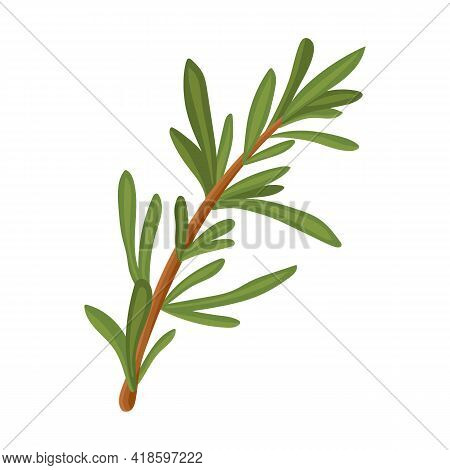 Rosemary Branch. Isolated Rosemary On White Background. Aromatic Salad Dressing. Vector Stock Illust