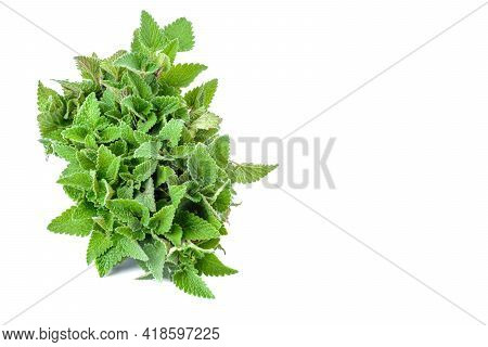 Lemon Balm Leaves, Lemon Balm, Isolated On A White Background, Clipping Path.selective Focus