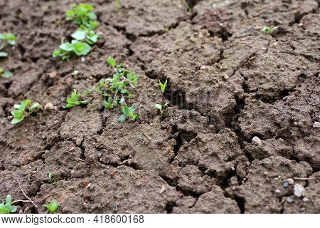 Texture Of Brown Dried Cracked Soil With Green Plant. Full Frame Dried Soil Background.